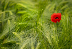 nature, spring, field, wheat, poppy, macro wallpaper