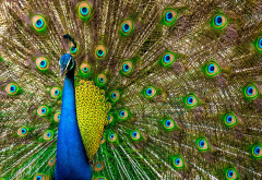 bird, peacock, tail, feathers, animals wallpaper