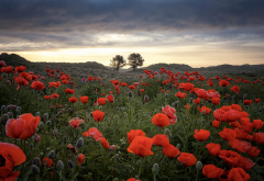 field, poppies, bud, nature, flowers. poppy wallpaper
