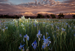 nature, summer, landscape, mountains, meadow, flowers, irises, morning, dew wallpaper