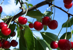 cherry, food, tree, nature wallpaper