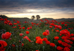 nature, landscape, field, flowers, poppies, morning, poppy wallpaper