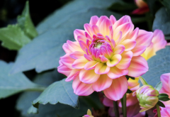 flowers, dahlia, buds, leaves, nature wallpaper