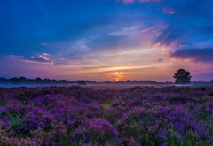 sunset, sky, field, flowers, nature, landscape, lavender wallpaper