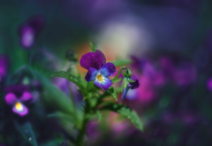 flowers, macro, water, drops, nature, viola wallpaper