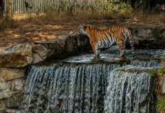 tiger, waterfall, zoo, animals wallpaper