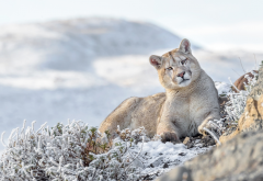 animals, predator, puma, cougar, mountains, winter, nature, frost wallpaper