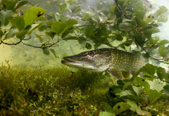 fish, pike, predator, algae, underwater, animals wallpaper