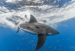 shark, underwater, white shark, animals, sea wallpaper