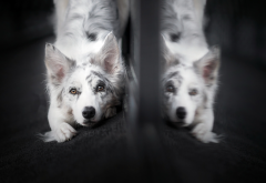 dog, mirror, reflection, animals wallpaper
