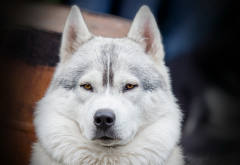 husky, animals, siberian husky, dog wallpaper