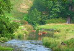 deer, stream, yorkshire, england, animals wallpaper
