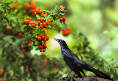 american crow, nature, branches, leaves, berries, bird, animals wallpaper