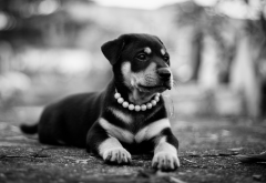 rottweiler, dog, puppy, animals wallpaper