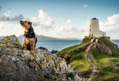 nature, landscape, wales, sea, rocks, stones, lighthouse, animals, dog wallpaper