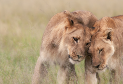 wildlife, africa, lion, lioness, tenderness, predators, animals wallpaper